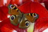 The European Peacock Butterfly, Inachis Io Photo by Darrell Gulin