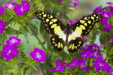 The Electric Green Swallowtail Butterfly, Graphium Tyndereus Photo by Darrell Gulin