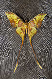 Malaysian Moon Moth Butterfly on Helmeted Guineafowl Feathers Photo by Darrell Gulin