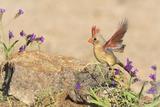 USA, Arizona, Amado. Female Cardinal with Wings Spread Photo by Wendy Kaveney