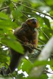 Red Titi Monkey, Yasuni NP, Amazon, Ecuador Photo by Pete Oxford