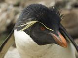 Falkland Islands. Portrait of Rockhopper Penguin Photo by Ellen Anon