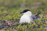 Long-Tailed Jaeger Sitting on Nest Photo by Ken Archer