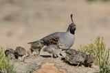 USA, Arizona, Amado. Male Gambel's Quail and Chicks on a Rock Photographie par Wendy Kaveney