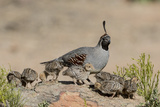 USA, Arizona, Amado. Male Gambel's Quail and Chicks on a Rock Photo by Wendy Kaveney