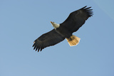 Bald Eagle Flying, Soaring Photo by Sheila Haddad