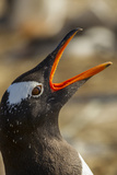Falkland Islands, Sea Lion Island. Gentoo Penguin Calling Photo by Cathy & Gordon Illg