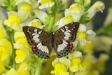 Butterfly Female Euthalia Adonia in the Nymphalidae Family Photo by Darrell Gulin