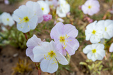 Evening Primrose in Grand Staircase Escalante National Monument Photo by Howie Garber