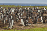 Falkland Islands, Bleaker Island. Gentoo Penguin Colony Photo by Cathy & Gordon Illg