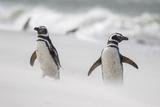 Magellanic Penguin on Beach. Falkland Islands Photo by Martin Zwick