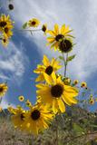 Sunflowers Holladay, Utah Photo by Howie Garber