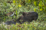 Capybara and Wattled Jacana, Northern Pantanal, Mato Grosso, Brazil Photo by Pete Oxford