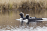 Pacific Loon Pair Photo by Ken Archer