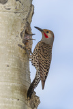 Colorado, Rocky Mountain NP. Red-Shafted Flicker Outside Tree Nest Photo by Cathy & Gordon Illg