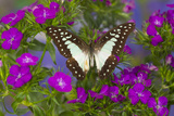 The Lesser Jay Butterfly, Graphium Evemon Orthia Photo by Darrell Gulin