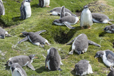 Falkland Islands, Gentoo Penguin Chicks Forming a Creche Photo by Martin Zwick