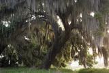 Morning Light Illuminating the Moss Covered Oak Trees in Florida Photo autor Sheila Haddad