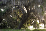 Morning Light Illuminating the Moss Covered Oak Trees in Florida Photo by Sheila Haddad