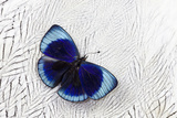 Peruvian Asterope Butterfly on Silver Pheasant Feather Pattern Photo by Darrell Gulin