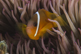 Fiji Anemone Fish Sheltering in Host Anemone for Protection, Fiji Photo by Pete Oxford