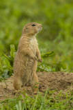 Colorado, Rocky Mountain Arsenal NWR. Prairie Dog on Den Mound Photo by Cathy & Gordon Illg