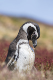 Magellanic Penguin, Portrait at Burrow. Falkland Islands Photo by Martin Zwick