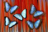 Five Blue Morpho Butterflies on Macau Tail Feather Design Photo by Darrell Gulin