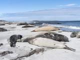 Southern Elephant Seal Males on Sandy Beach, Falkland Islands Photo by Martin Zwick
