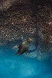 Galapagos Sea Lion Underwater, Galapagos, Ecuador Photo by Pete Oxford