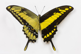 Swallowtail Butterfly, Aka the King Swallowtail or Thoas Swallowtail Photo by Darrell Gulin