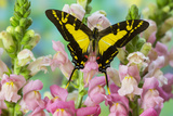 The Orange Kite Swallowtail Butterfly, Eurytides Thyastes Photo by Darrell Gulin