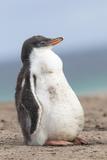 Gentoo Penguin on the Falkland Islands, Half Grown Chicks Photo by Martin Zwick