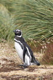 Magellanic Penguin, in Typical Tussock Environment. Falkland Islands Photo by Martin Zwick