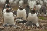 Falkland Islands, Bleaker Island. Group of Gentoo Penguins Photo by Cathy & Gordon Illg