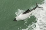 Chile, Patagonia, Straits of Magellan. Commerson's Dolphin Breaching Photo by Cathy & Gordon Illg