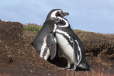 Magellanic Penguin, Pair at Burrow. Falkland Islands Photo by Martin Zwick