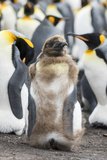King Penguin, Falkland Islands. Chick Loosing Typical Brown Plumage Photo by Martin Zwick