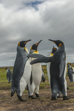 Falkland Islands, East Falkland. King Penguins in Dominance Display Photo by Cathy & Gordon Illg
