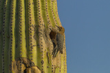 Arizona, Sonoran Desert. Gila Woodpecker at Nest Hole in Saguaro Photo by Cathy & Gordon Illg