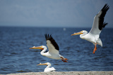 White Pelicans on the Shore of the Salton Sea in California Photo by Richard Wright