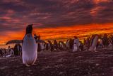 Falkland Islands, Sea Lion Island. Gentoo Penguin Colony at Sunset Photographie par Cathy & Gordon Illg