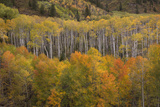 USA, Colorado, White River NF. Aspen Grove at Peak Autumn Color Photo by Don Grall