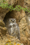 USA, Colorado, Larimer County. Great Horned Owl on Rocky Ledge Photo by Cathy & Gordon Illg