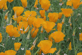 California, Santa Barbara Botanical Garden, California Poppy Photo by Rob Tilley