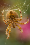 USA, Colorado, Jefferson County. Orb-Weaver Spider Close-up Photo av Cathy & Gordon Illg