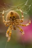 USA, Colorado, Jefferson County. Orb-Weaver Spider Close-up Fotografía por Cathy & Gordon Illg