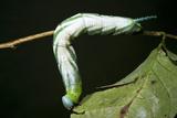 Tobacco Hornworm Caterpillar, Yasuni NP, Amazon Rainforest, Ecuador Photo by Pete Oxford