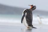 Gentoo Penguin (Pygoscelis Papua) on the Falkland Islands Photo by Martin Zwick