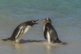Falkland Islands, Bleaker Island. Gentoo Penguins Arguing Photo by Cathy & Gordon Illg